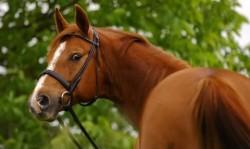 Portrait d'un cheval American Wermblood