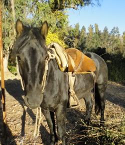Portrait d'un cheval Andin