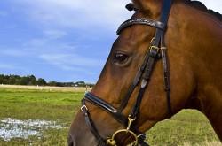 Portrait d'un cheval Anglo-Arabe Sarde