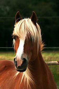 Portrait d'un cheval Arabo Haflinger