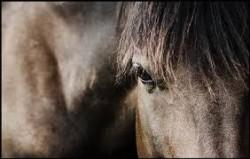 Portrait d'un cheval Ardennais Suèdois