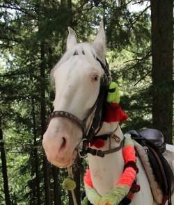 Portrait d'un cheval Baluchi