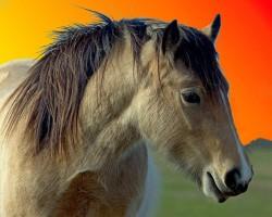 Portrait d'un cheval Batak