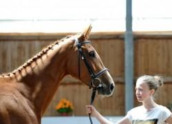 Portrait d'un cheval Bavarois