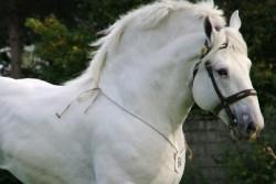 Portrait d'un cheval Boulonnais
