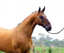 Portrait d'un cheval Campeiro