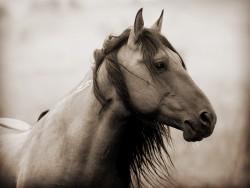 Portrait d'un cheval Cerbat