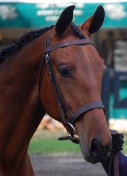 Portrait d'un cheval Cleveland Bay