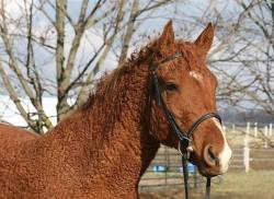 Portrait d'un cheval Curly