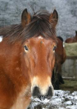 Portrait d'un cheval d'Auvergne
