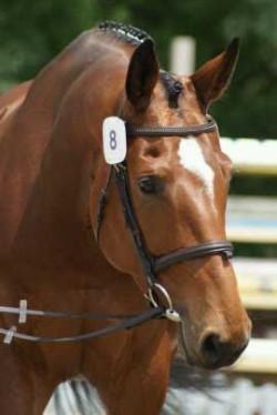 Portrait d'un cheval Einsiedler