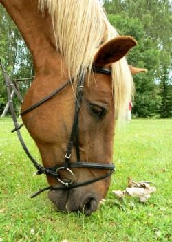 Portrait d'un cheval Estonien