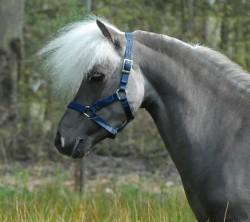 Portrait d'un cheval Falabella