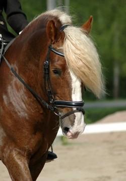 Portrait d'un cheval Finlandais