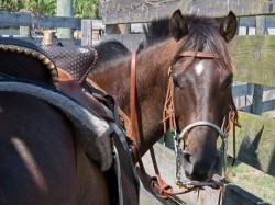 Portrait d'un cheval florida cracker horse