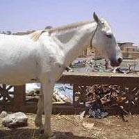 Portrait d'un cheval Fouta