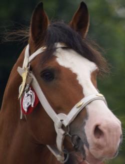 Portrait d'un cheval Franche Montagne