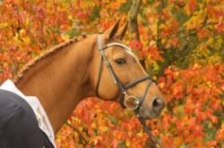 Portrait d'un cheval Hanovrien