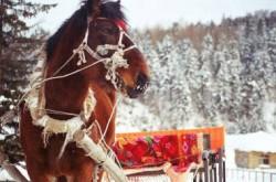 Portrait d'un cheval Heihe