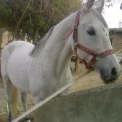 Portrait d'un cheval Hirzai