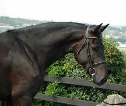 Portrait d'un cheval Hunter Irlandais