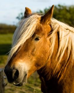 Portrait d'un cheval Jutland