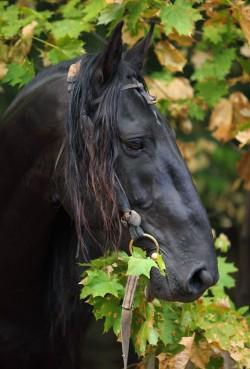 Portrait d'un cheval Kabardin