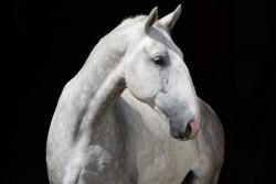 Portrait d'un cheval Kladruber gris