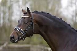 Portrait d'un cheval KWPN