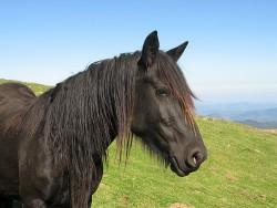 Portrait d'un cheval Mérens