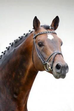 Portrait d'un cheval Trakehner