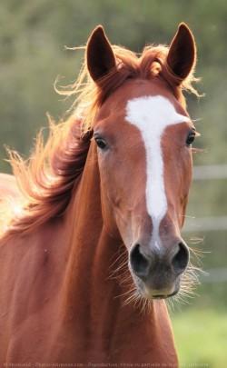 Portrait d'un cheval Trotteur Français