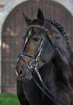 Portrait d'un cheval Württemberg