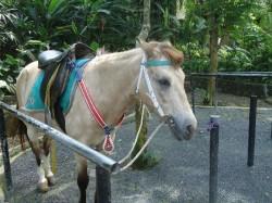 Portrait d'un poney du Bali