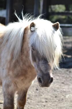 Portrait d'un poney Shetland
