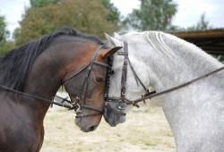 Portrait de chevaux Andalou