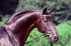 Portrait du cheval de Hesse