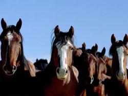 Portraits de chevaux Mustangs