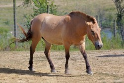 Posture du cheval dominant