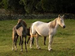 Poualin poney des Açores et sa mère