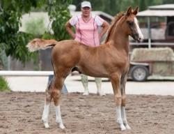 Poulain American Saddlebred