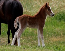 Poulain American Show Pony