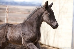 Poulain Australian Stock Horse