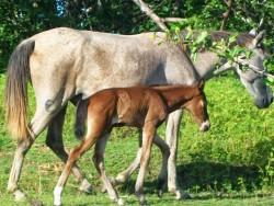 Poulain Baixadeiro et sa mère