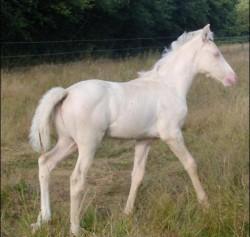 Poulain Blanc