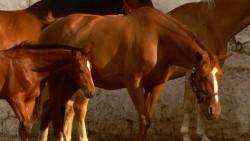 Poulain cheval de bulgarie et sa mère