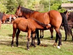 Poulain Cheval de Catria et sa mère