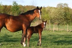 Poulain cheval de Hesse et sa mère