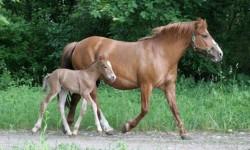 Poulain cheval Estonien et sa mère