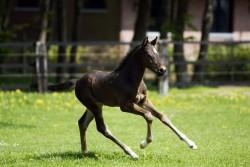 Poulain Irish Sport Horse